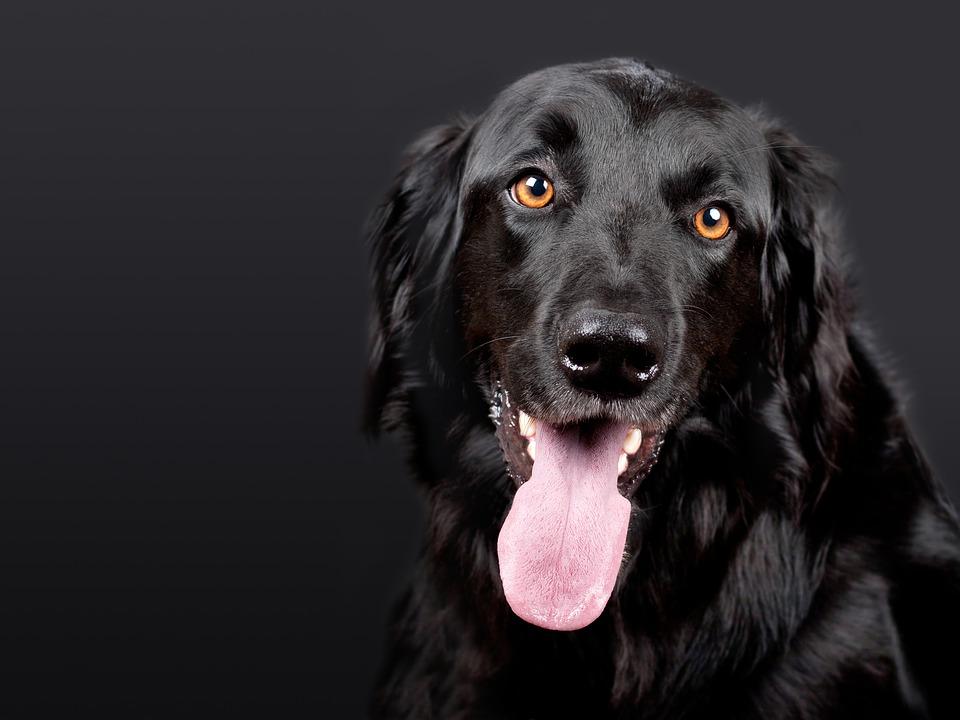sonhar com cachorro preto raivoso