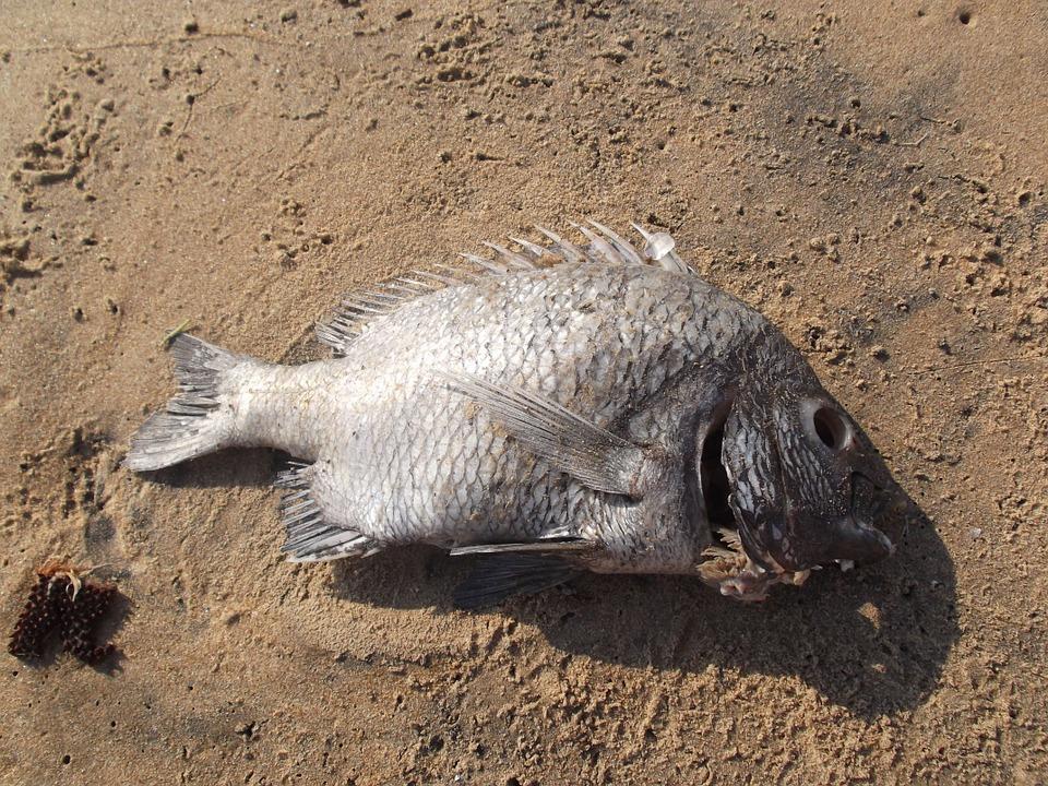 sonhar com peixe morto