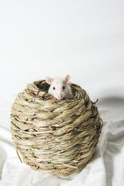 sonhar com rato branco