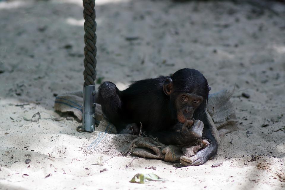 Sonhar com macaco preto