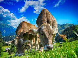 sonhar com gado