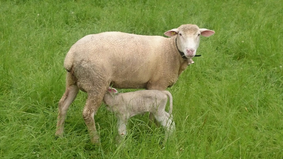 Sonhar com ovelha branca