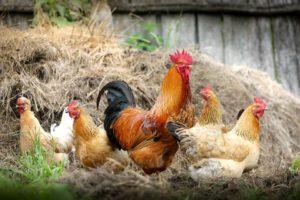 Sonhar com frango