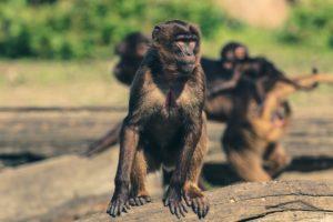 Sonhar com muitos macacos