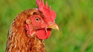 Sonhar com galinha bicando