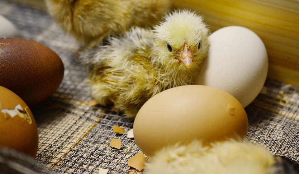 Sonhar com ovo choco