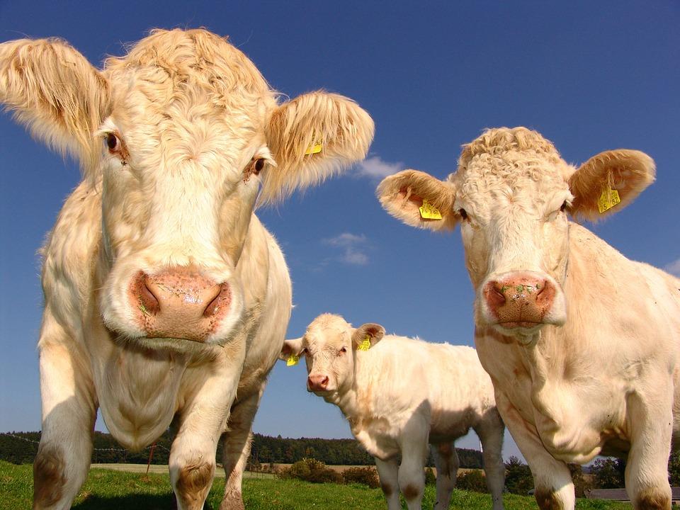 Sonhar com gado branco