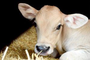 Sonhar com vaca branca
