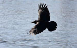 Sonhar com pássaro preto