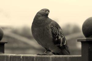 Sonhar com pombo preto