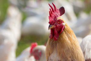 Sonhar com galo e galinha