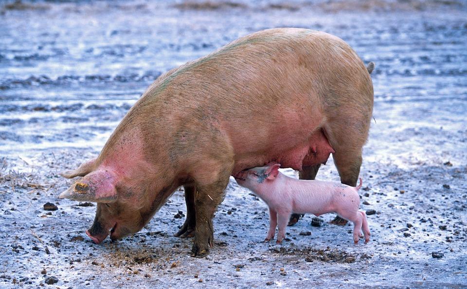 Sonhar com porco no jogo do bicho