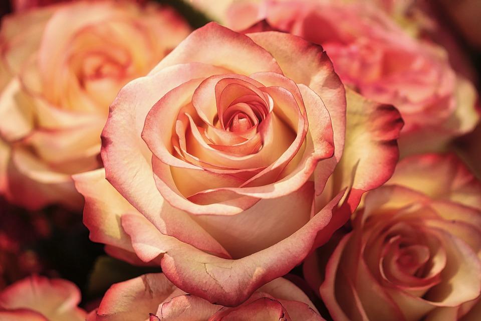 Sonhar com flores rosas