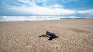 Sonhar com tartaruga pequena