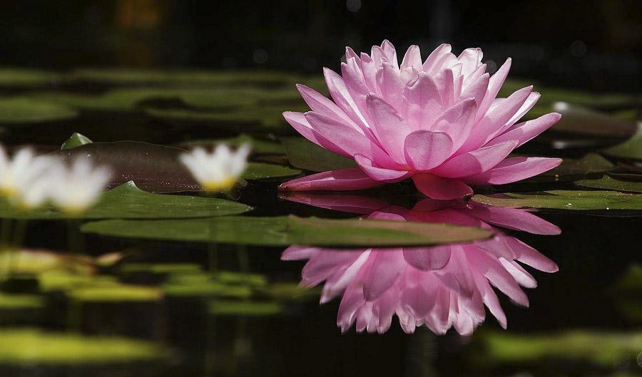Significado da flor de lótus